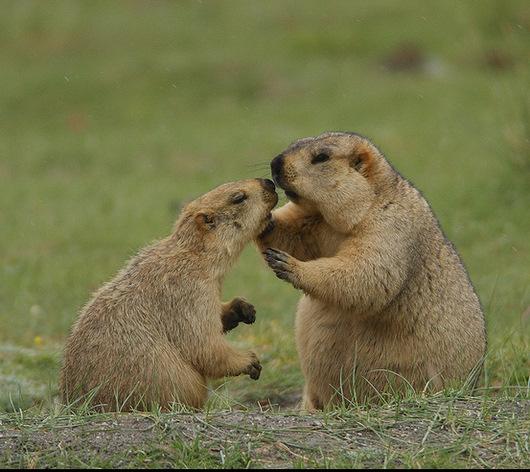 http://marmota.ru/e107_images/newspost_images/gimalay1.jpg